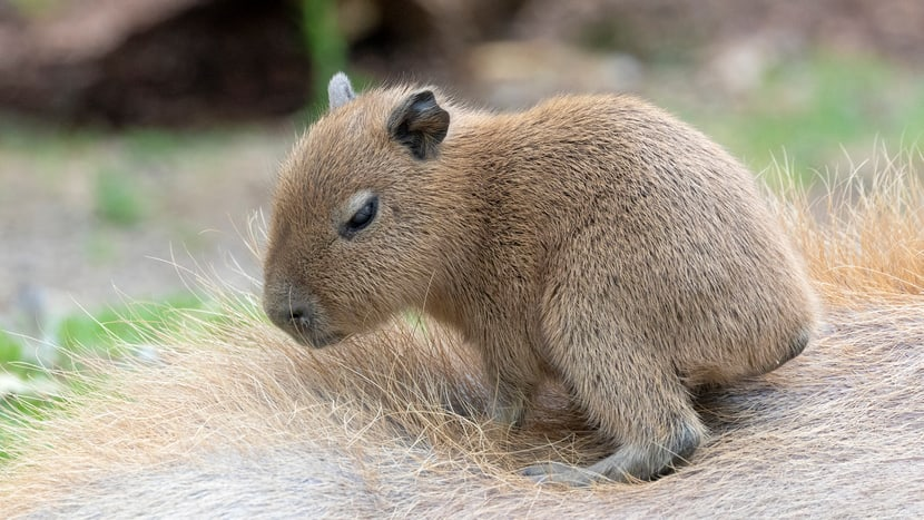 Junges Capybara im Pantanal des Zoo Zürich.