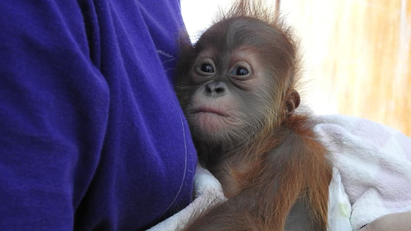 Junger Sumatra-Orang-Utan im PanEco-Schutzprogramm.