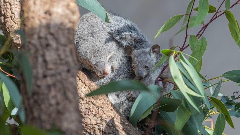 Koala Pippa mit Joey im Zoo Zürich.