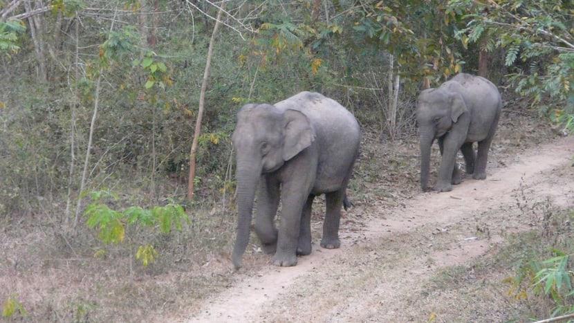 Wildlebende Asiatische Elefanten in Thailand.