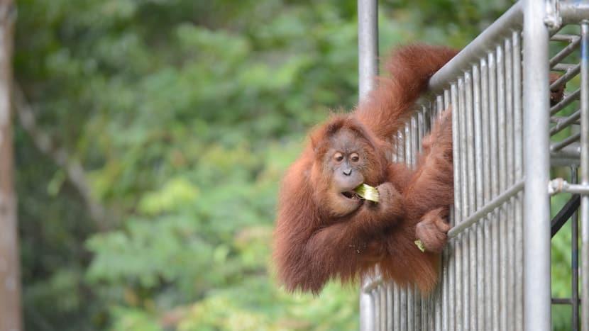 Sumatra-Orang-Utan in der SOCP-Auswilderungsstation in Jantho.