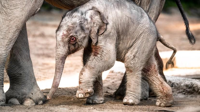 Asiatischer Elefant Umesh im Kaeng Krachan Elefantenpark im Zoo Zürich.