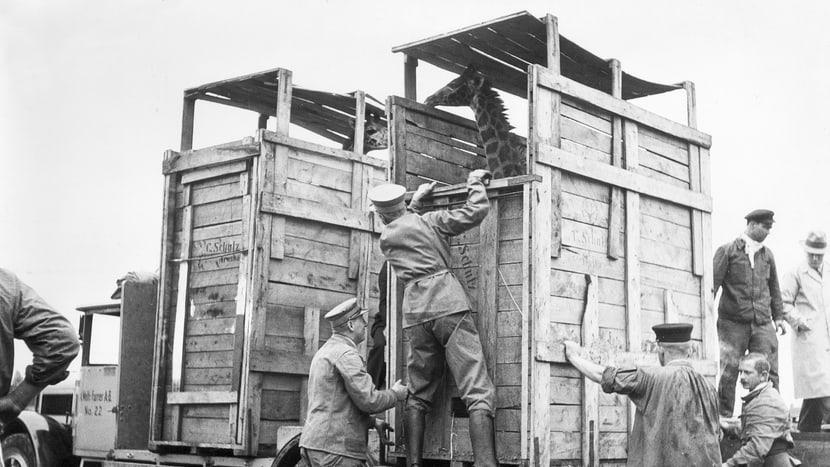 Ankunft Giraffen 1935