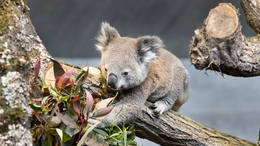 Koala Milo im Australienhaus im Zoo Zürich.