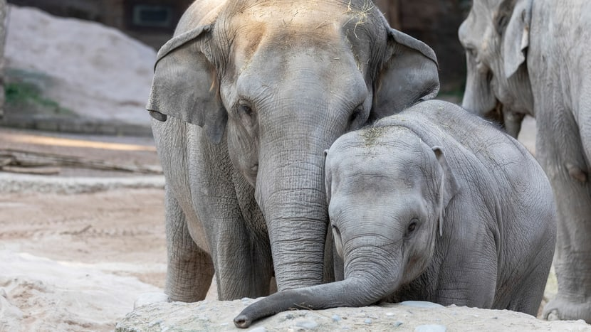 Asiatische Elefanten Farha und Ruwani im Kaeng Krachan Elefantenpark.