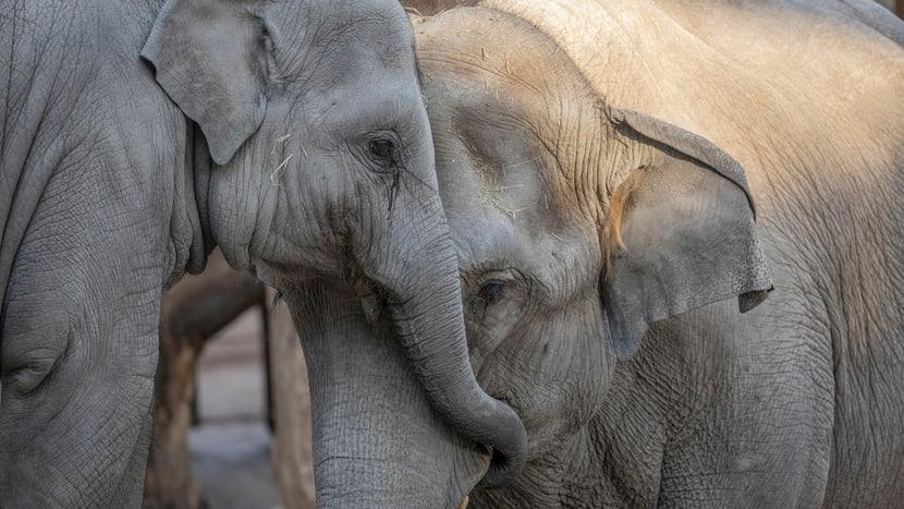 Asiatische Elefanten Ruwain und Farha im Kaeng Krachan Elefantenpark.