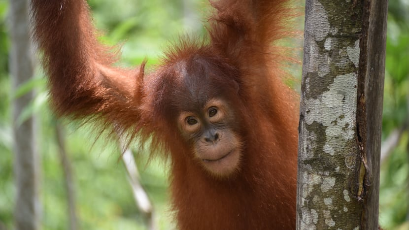 Orang-Utan auf Sumatra.