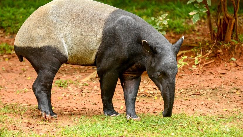 Eine der neuen Tierarten im Sumatra Regenwald: der Schabrackentapir.