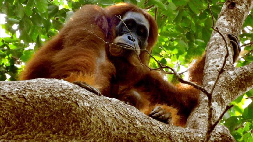 Sumatra-Orang-Utan Edelweiss mit Sohn Eja in Jantho, Sumatra.