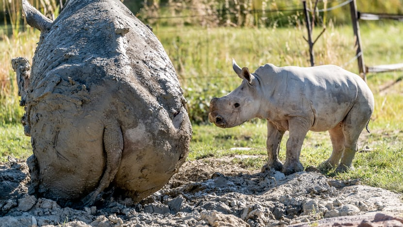 Nashornkalb Ushindi beim ersten Ausflug in die Savanne.