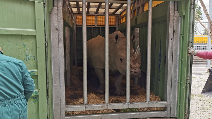 Nashornbulle Kimba in der Transportbox.