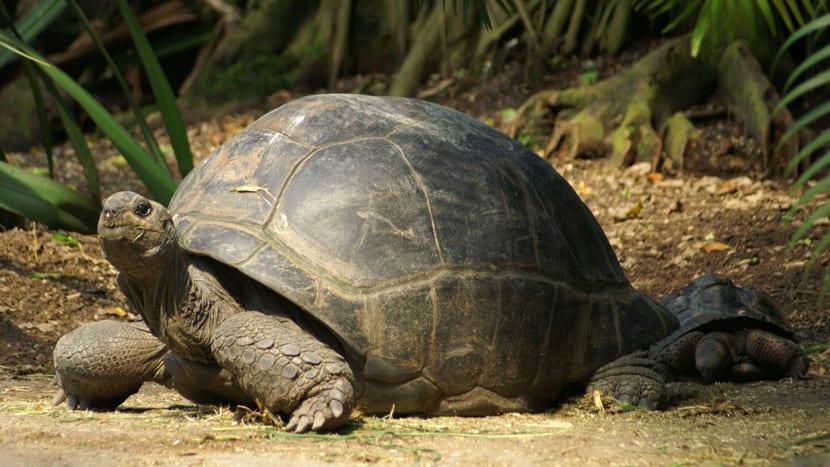 Aldabra-Riesenschildkröte im Masoala Regenwald des Zoo Zürich.