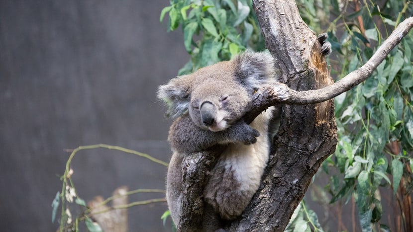 Koala Mikey im Australienhaus im Zoo Zürich.