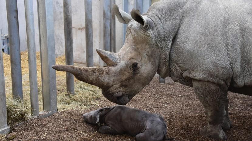 Nashorn Tanda mit neugeborenem Jungtier