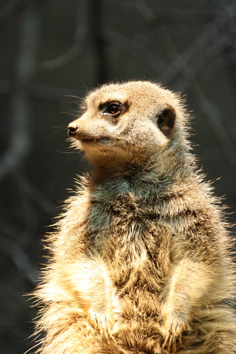 Erdmännchen im Zoo Basel.