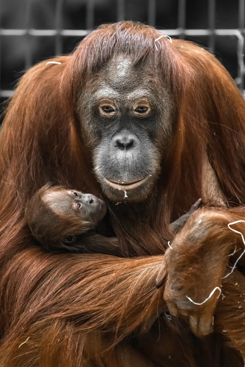 Sumatra-Orang-Utans Cahay und Utu Zoo Zürich