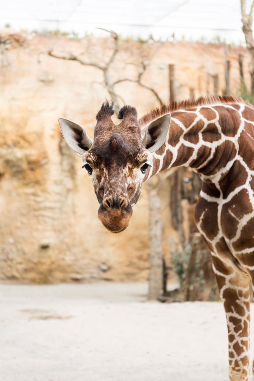Netzgiraffe (Giraffa camelopardalis)
