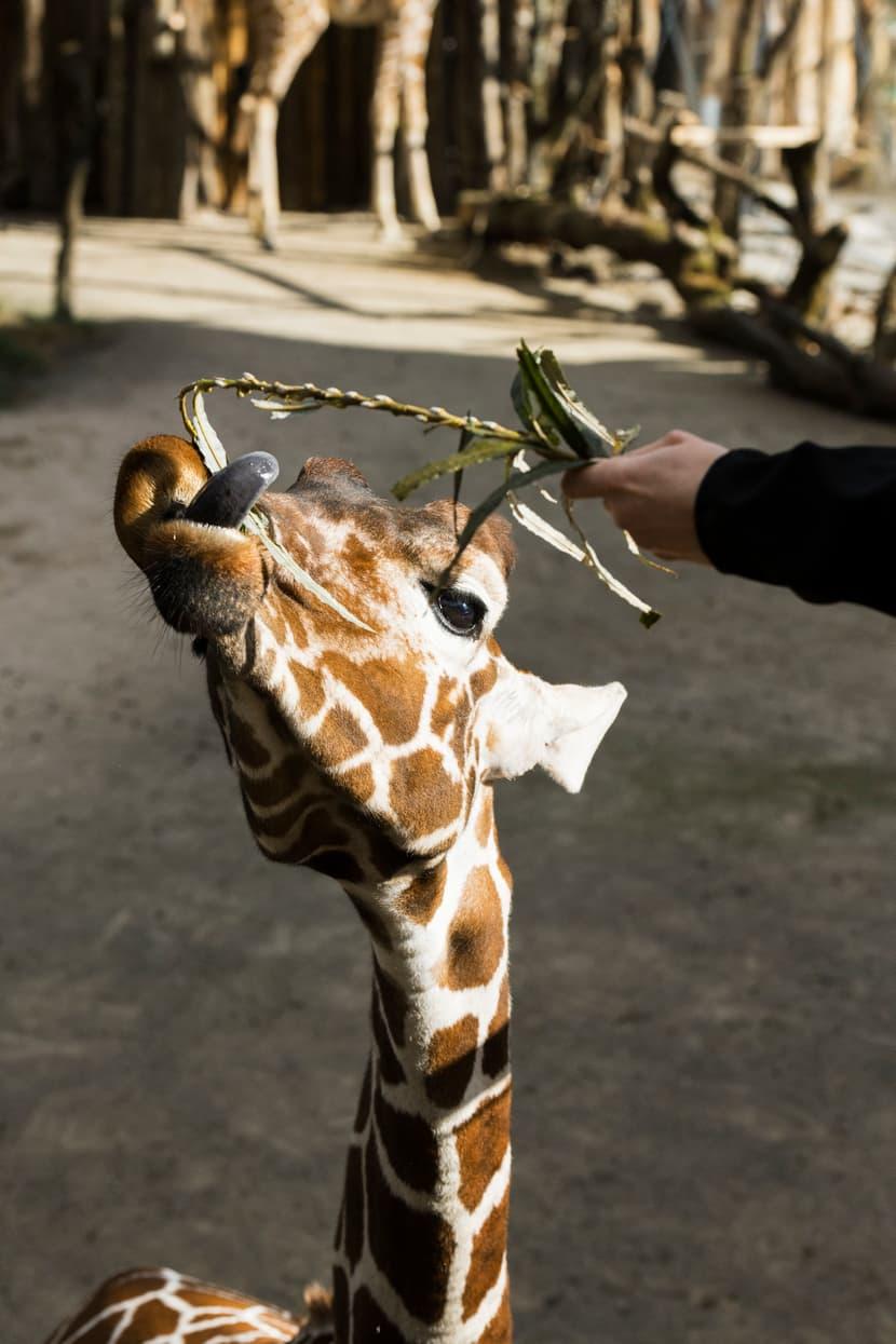 Giraffenfütterung Zoo Zürich Lewa