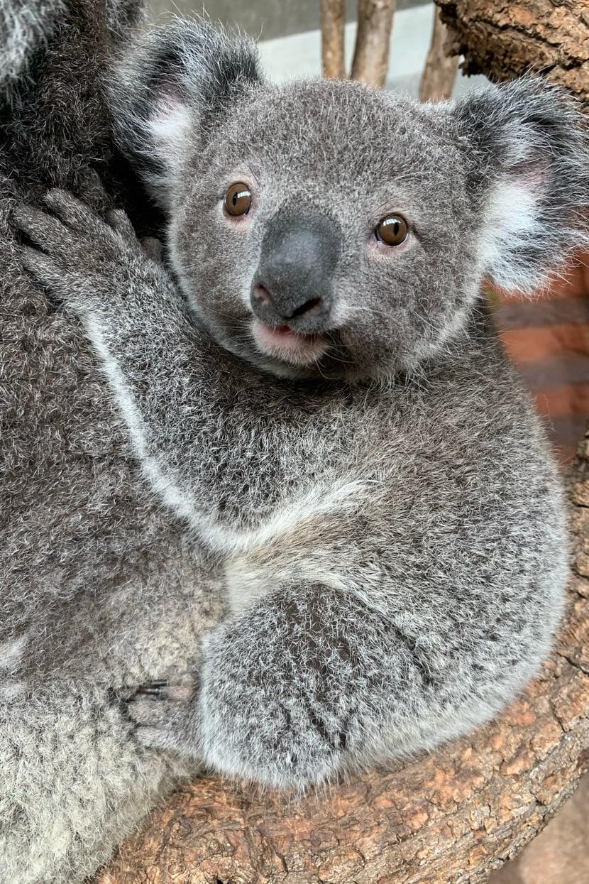 Koala Uki Februar 2021 Bild: Zoo Zürich, Nicole Schnyder