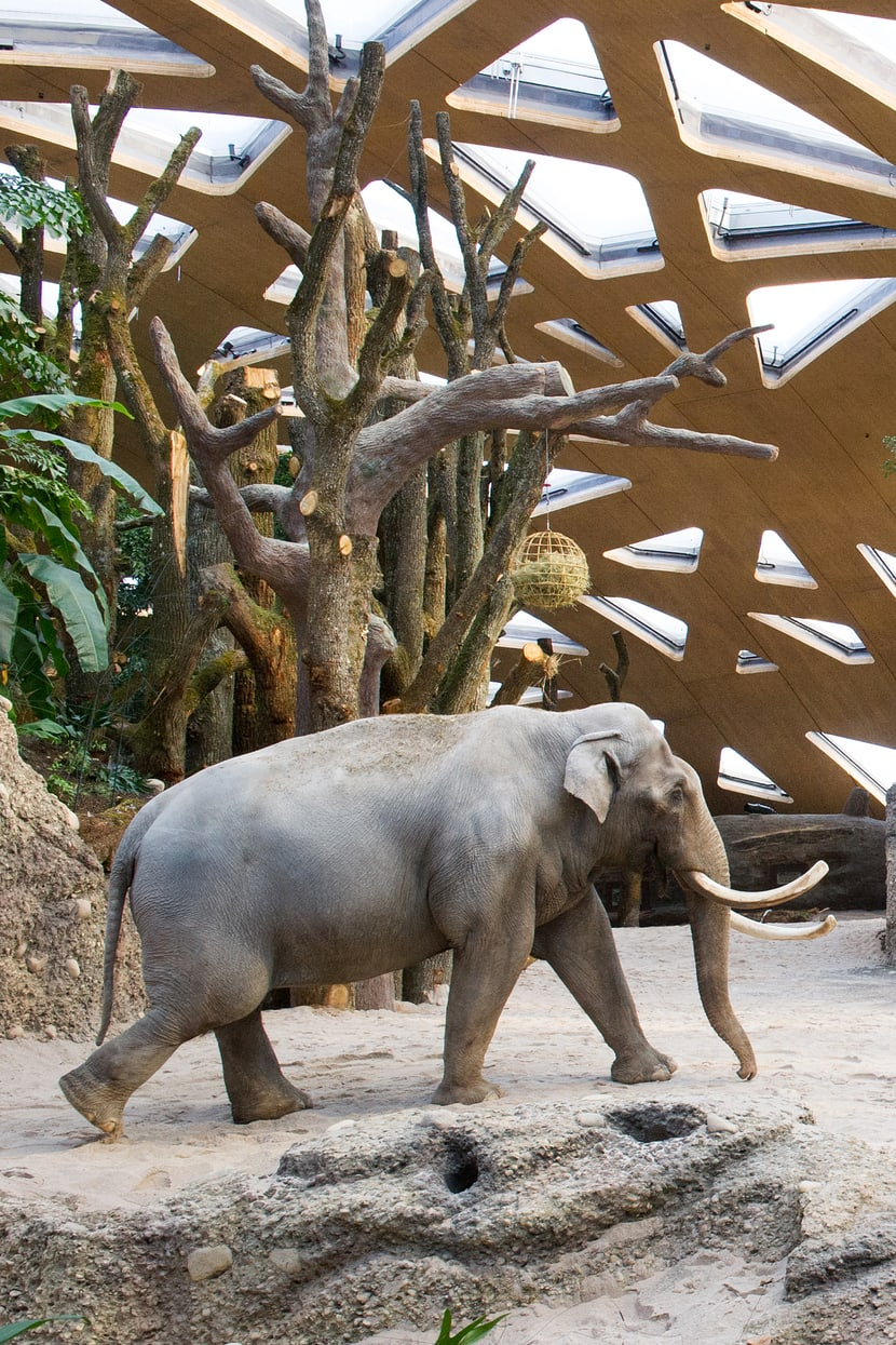 Asiatischer Elefant Maxi im Kaeng Krachan Elefantenpark des Zoo Zürich.
