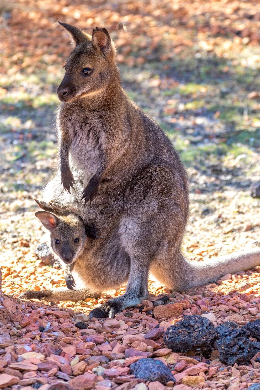 Bennett-Wallaby mit Jungtier in der Australienanlage des Zoo Zürich.
