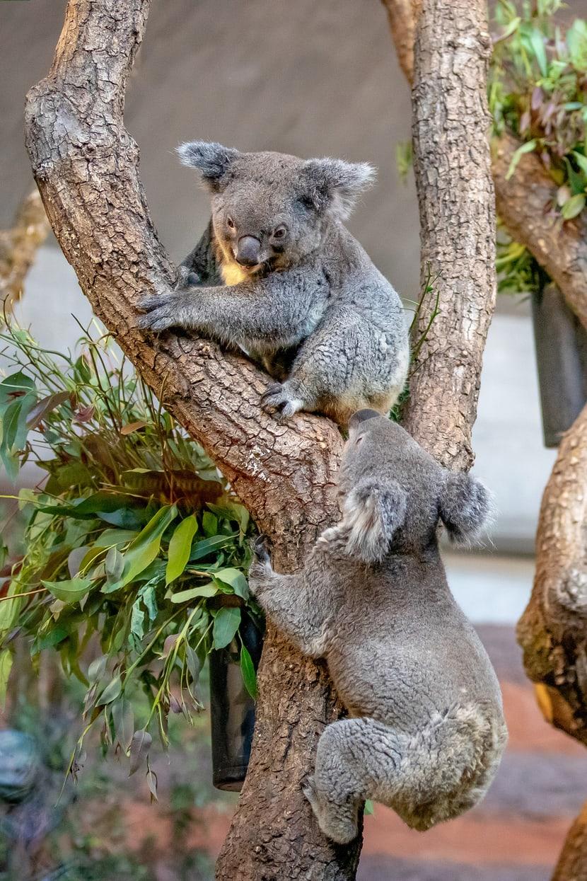 Koalas Maisy und Mikey im Zoo Zürich.