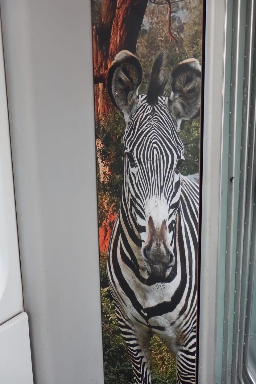 Zoo-Sondertram Lewa Savanne am Bellevue.