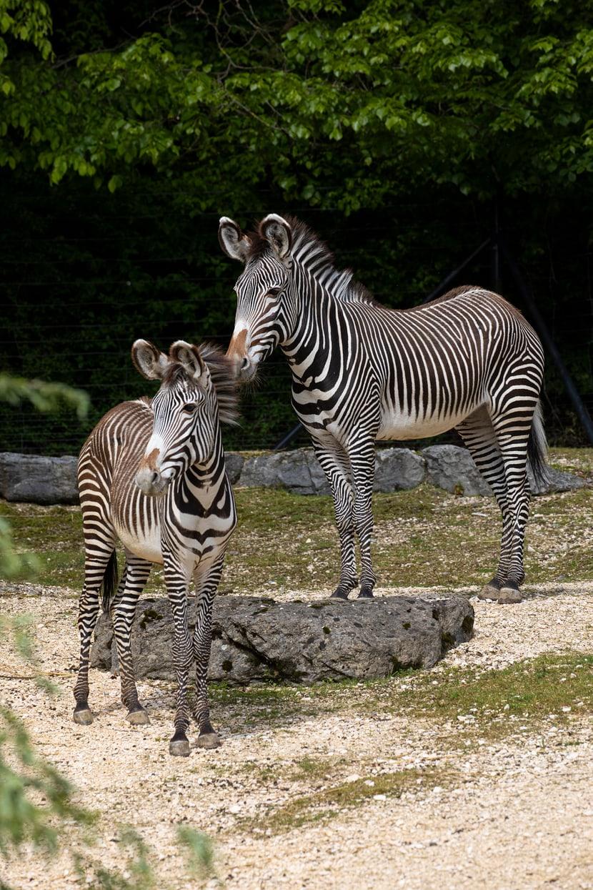 Die Grevyzebras Riha und Tana im Zoo Zürich.