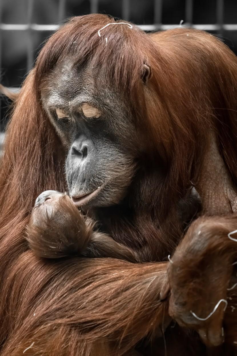 Sumatra-Orang-Utan Cahaya mit Jungtier Utu im Zoo Zürich.