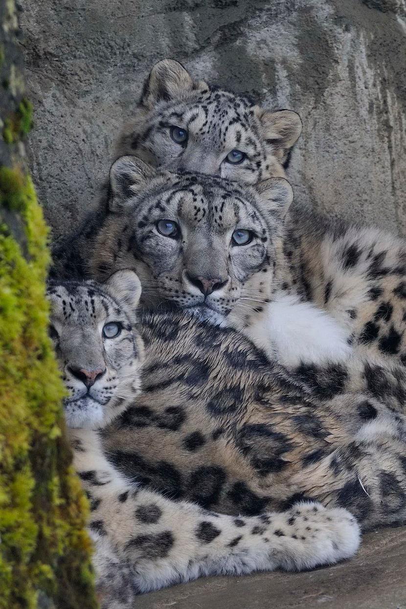 Schneeleoparden Dshamilja, Mohan und Villy im Zoo Zürich.