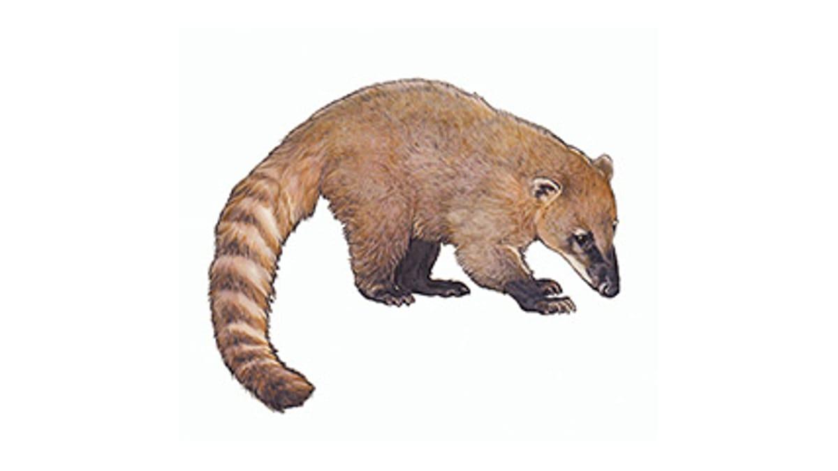 Illustration Nasenbär