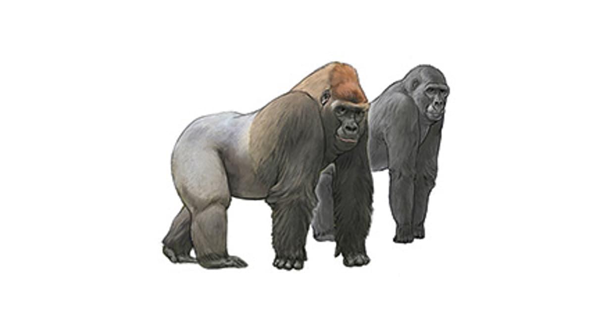 Illustration Westlicher Flachlandgorilla