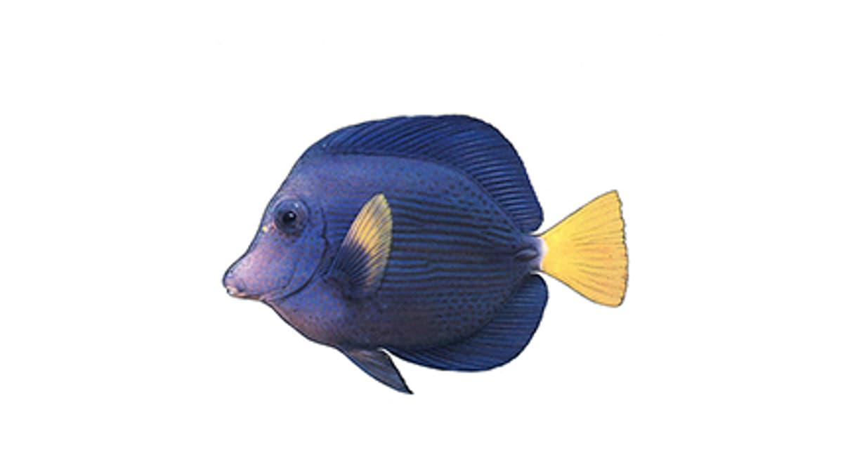 Illustration Blauer Segelflossen-Doktorfisch
