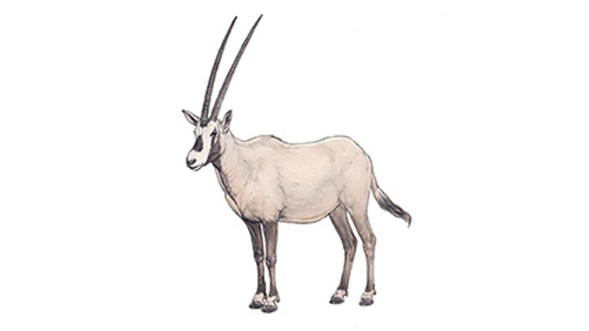 Illustration Arabische Oryx