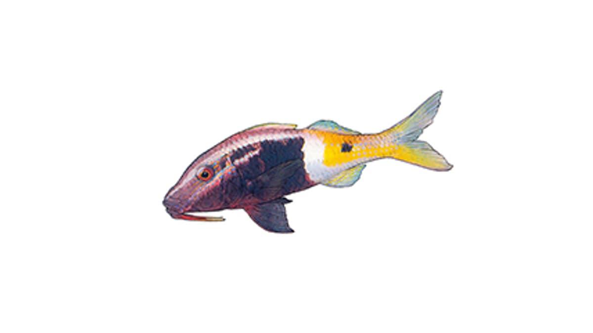 Illustration Zweifarben-Meerbarbe