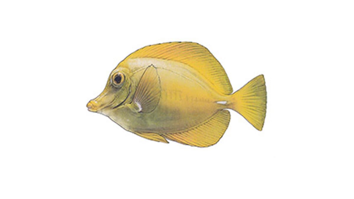 Illustration Zitronenflossen-Doktorfisch