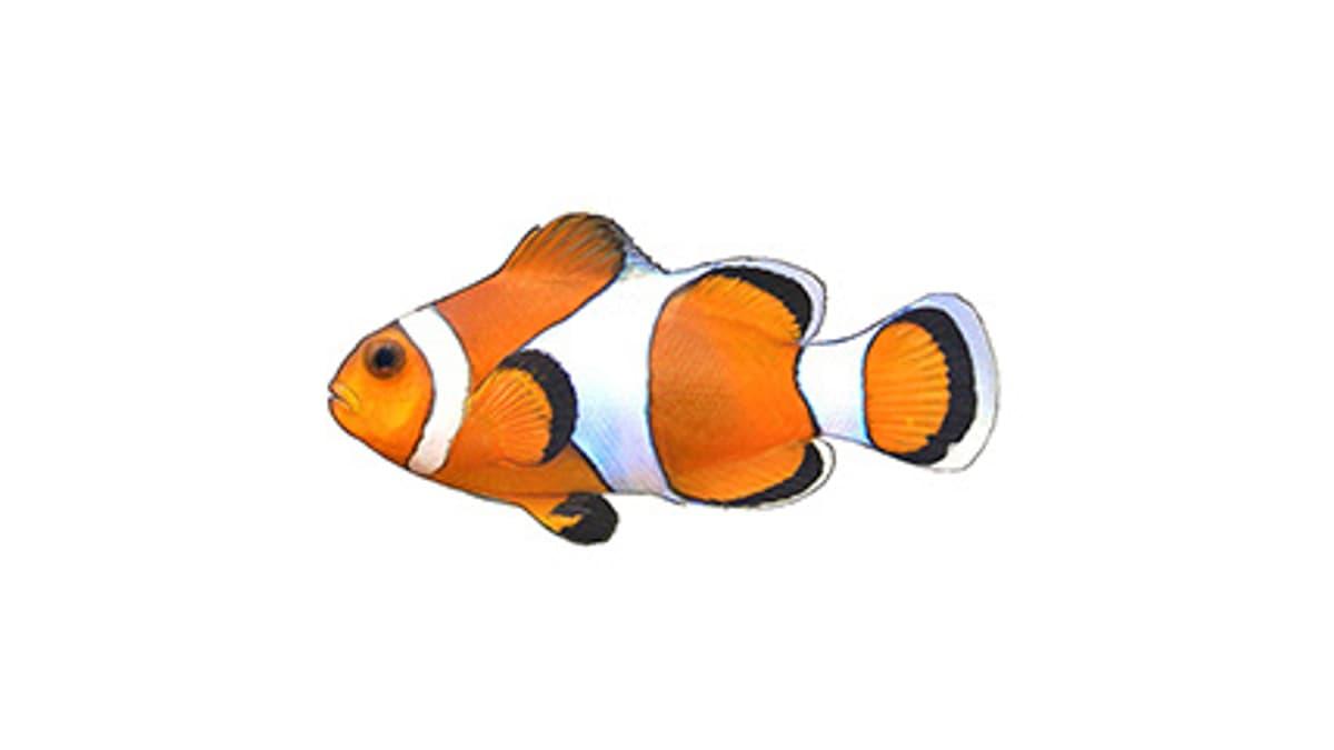 Illustration Dreibinden-Anemonenfisch / Clownfisch