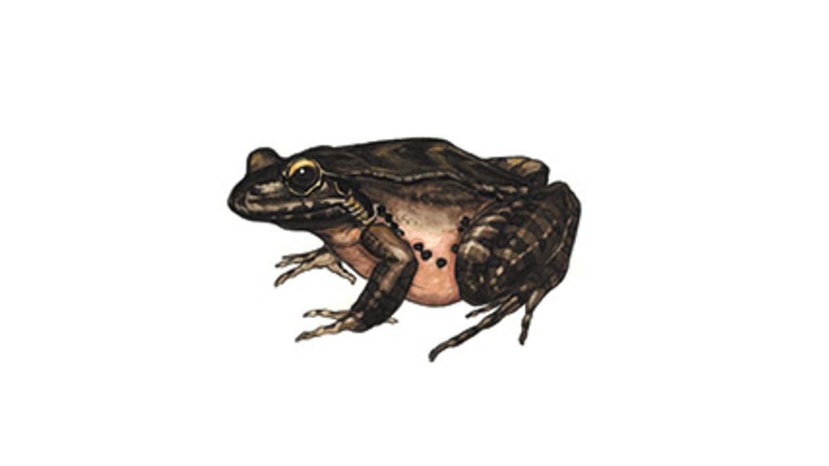 Illustration Antillen-Ochsenfrosch