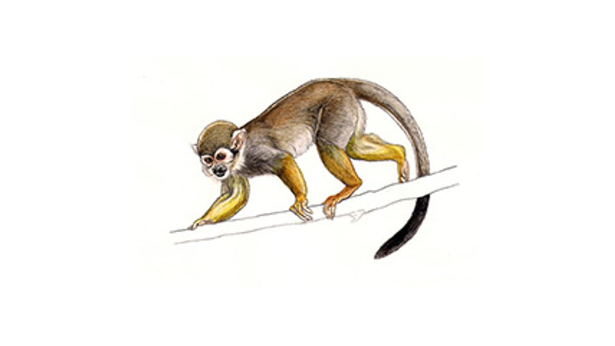 Illustration Bolivianischer Totenkopfaffe