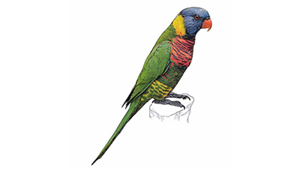 Illustration Regenbogenlori