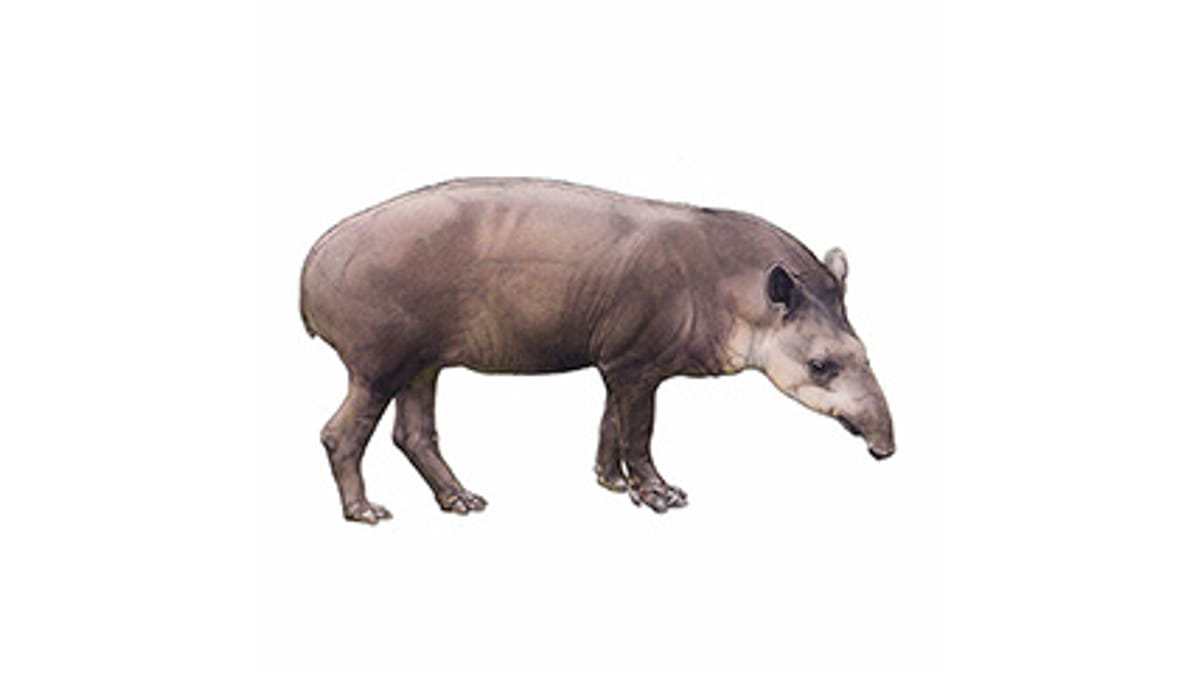 Illustration Flachlandtapir