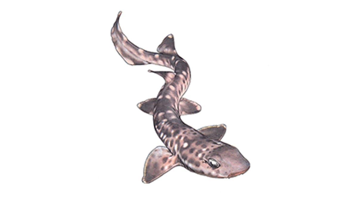 Illustration Korallenkatzenhai