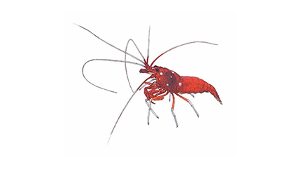 Illustration Kardinals-Putzergarnele