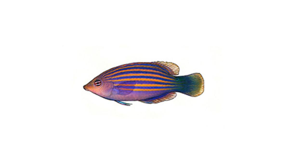 Illustration Sechsstreifen-Lippfisch