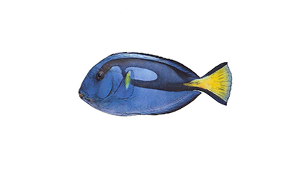 Paletten-Doktorfisch