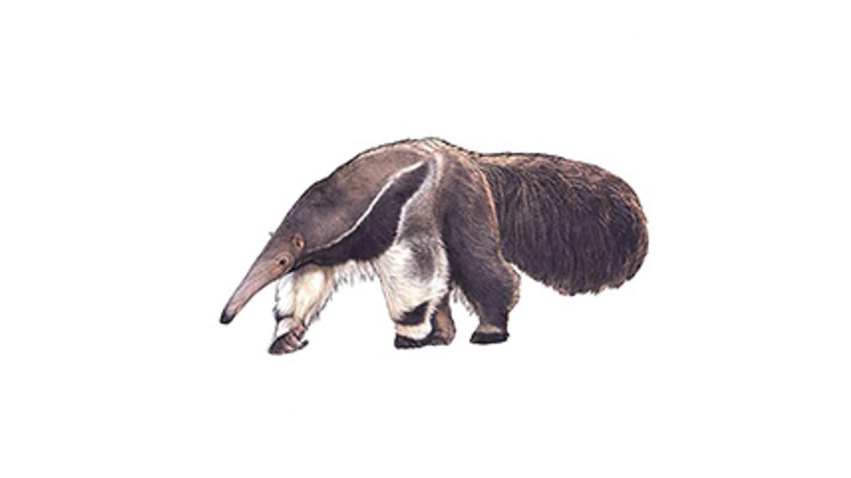 Illustration Grosser Ameisenbär