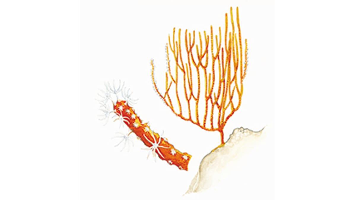 Illustration Gorgonien
