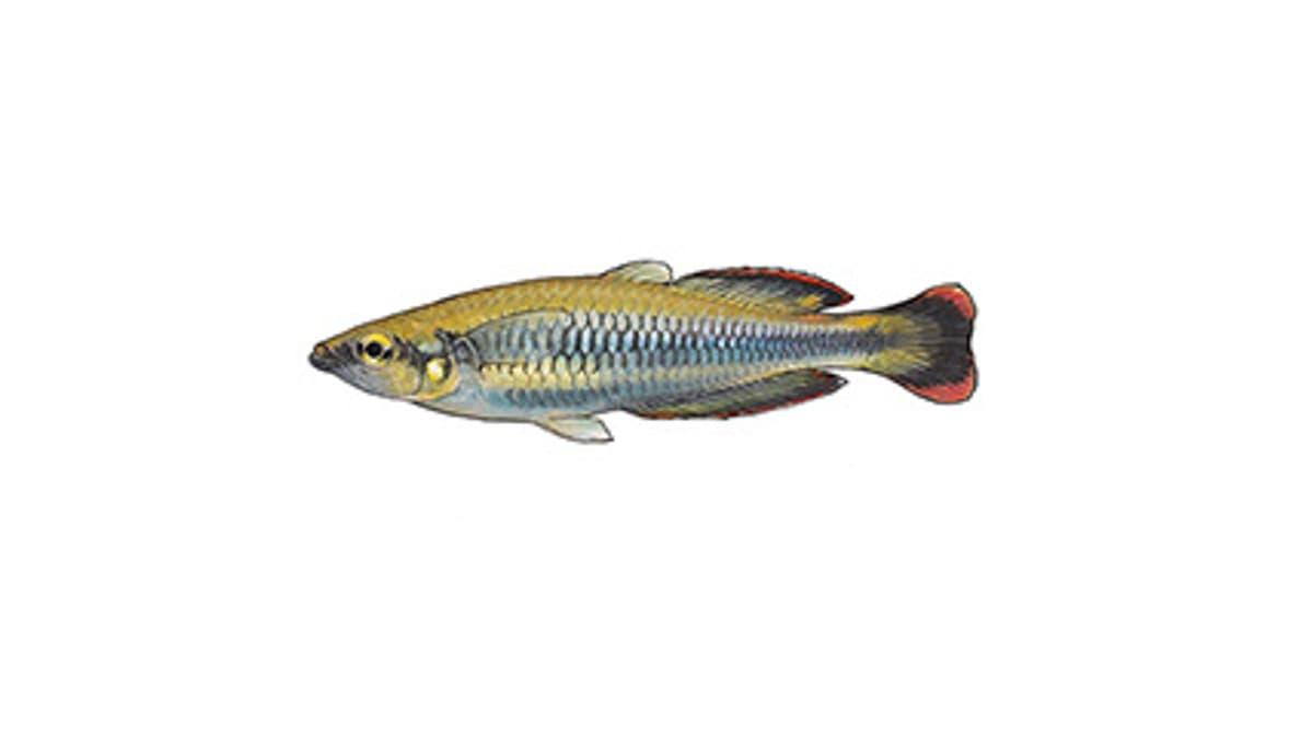 Illustration Rotschwanz-Ährenfisch