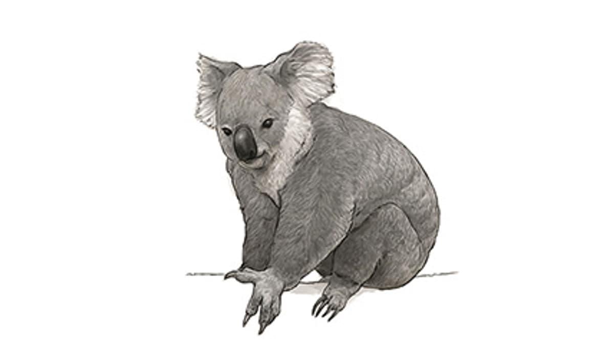 Illustration Koala