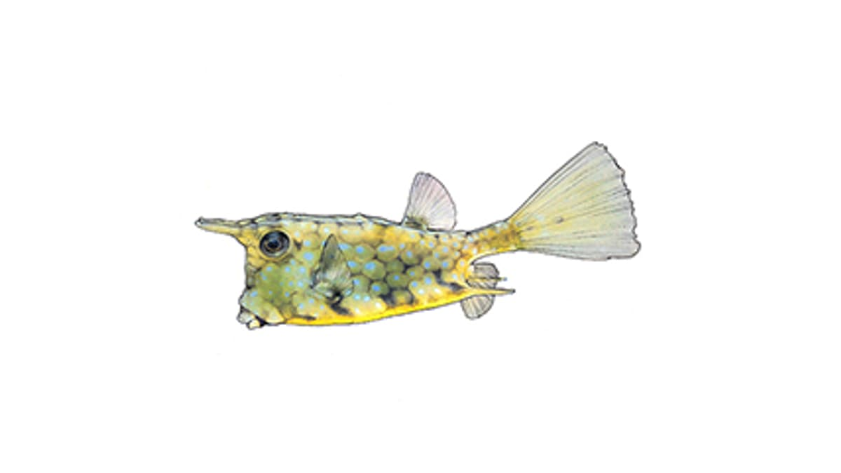 Illustration Kuhfisch